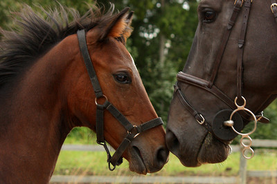 Dark Bay Horse and Foal