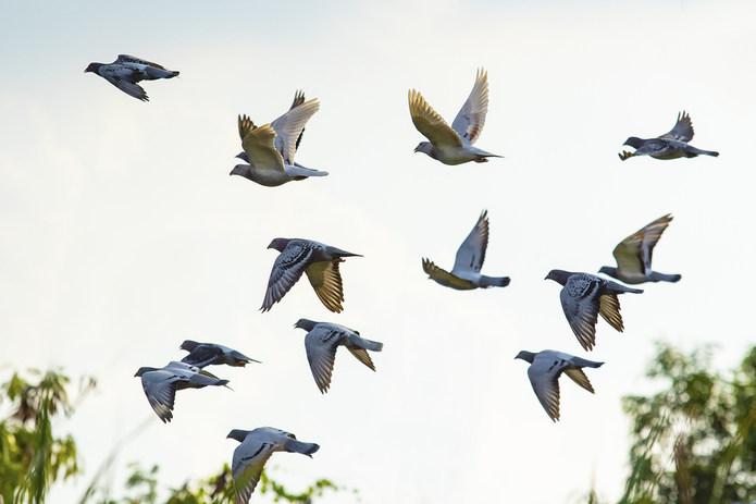 Flock of Racing Pigeons
