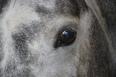 Grey Horse Close Up