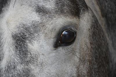 Grey Horse Close Up
