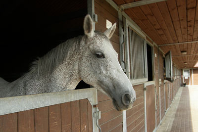 Grey Horse in Stables