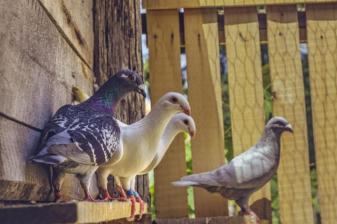 Homing Pigeons in Loft