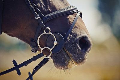 Horse Nose and Bridle Close Up
