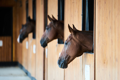 Horses Looking Out of Stables