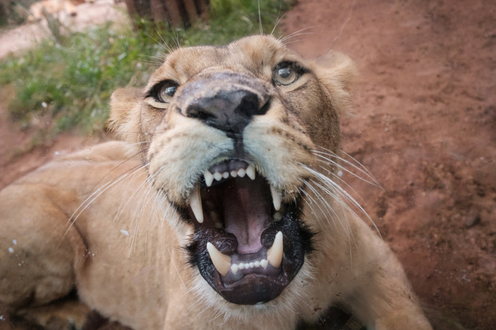 Lion Showing Teeth