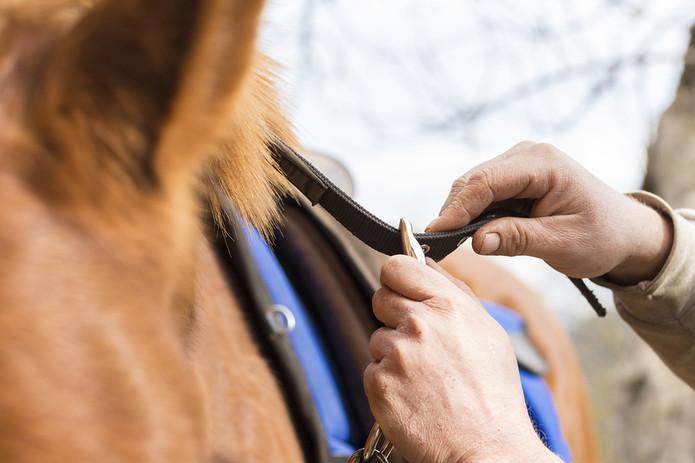 Man Tightening Horse Saddle