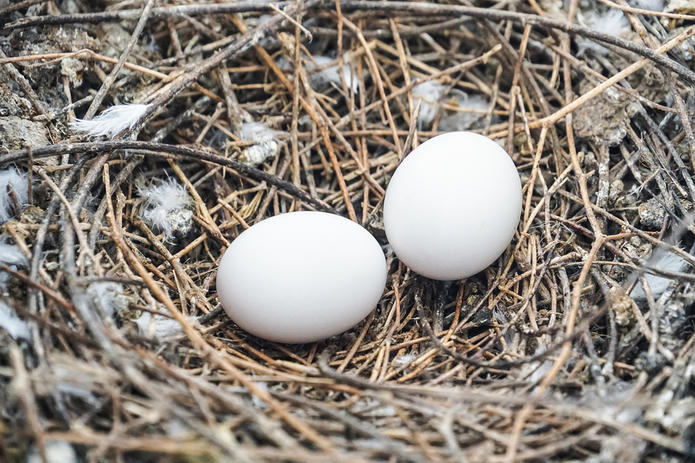 Pigeon Eggs in Nest