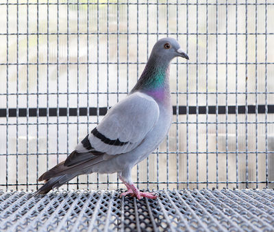 Racing Pigeon in Cage