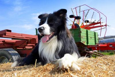 Sheepdog on Hay Bale